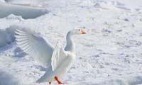 2018 Alaska Subsistence Migratory Bird Harvest Season Officially Opens